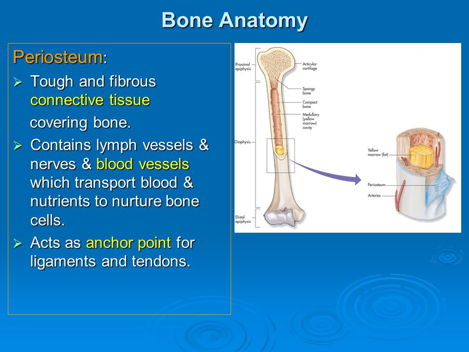 Bone Anatomy Periosteum :  Tough and fibrous connective tissue covering bone. covering bone.  Contains lymph vessels & nerves & blood vessels which