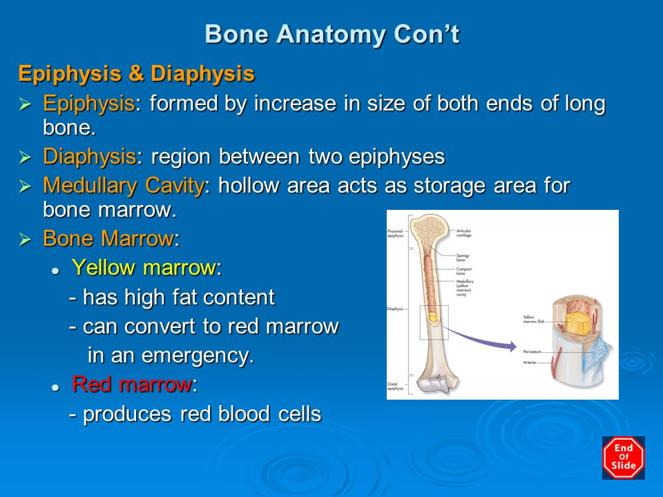 Bone Anatomy Con't Epiphysis & Diaphysis  Epiphysis: formed by increase in size of both ends of long bone.  Diaphysis: region between two epiphyses