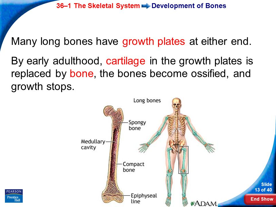 End Show 36–1 The Skeletal System Slide 13 of 40 Copyright Pearson Prentice Hall Development of Bones Many long bones have growth plates at either end