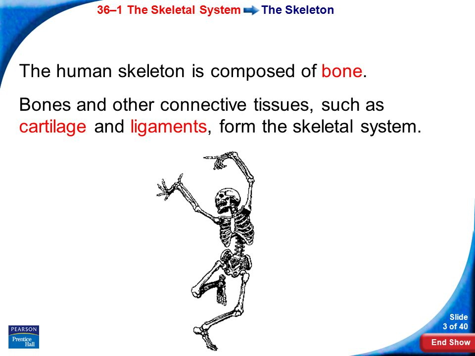 End Show 36–1 The Skeletal System Slide 3 of 40 Copyright Pearson Prentice Hall The Skeleton The human skeleton is composed of bone. Bones and other c