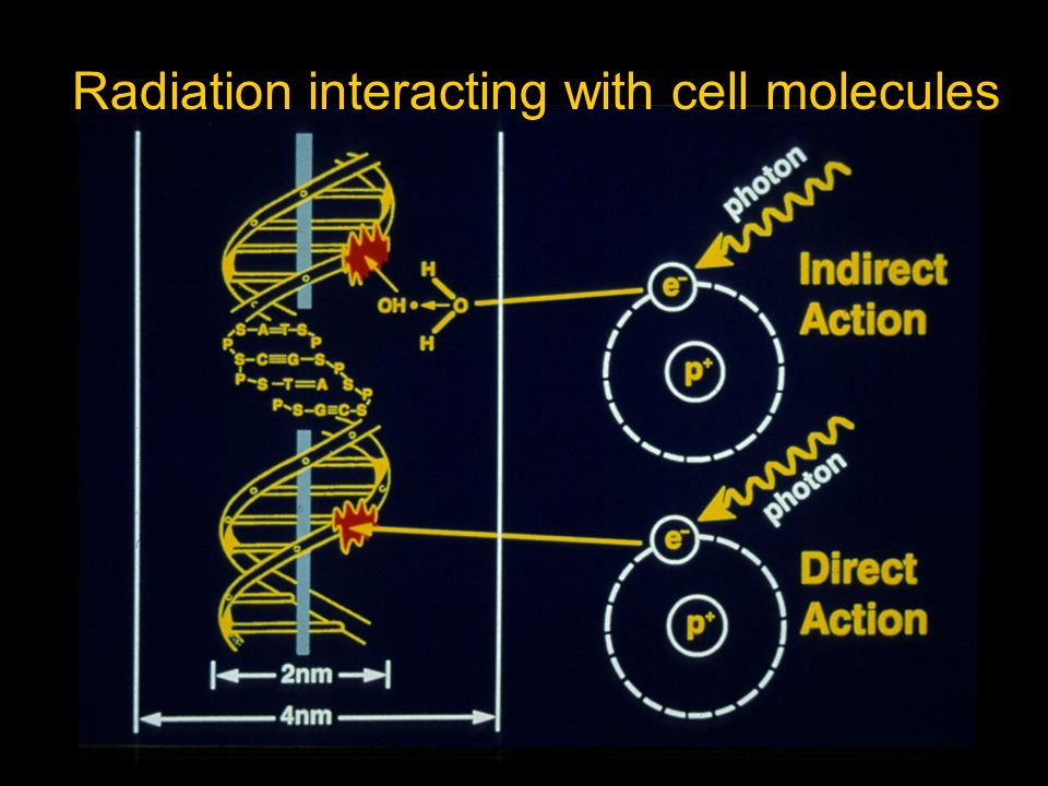 Sequence of Events in Indirect Action T 1/2 in secIncident X-ray photons  10 -15 Fast electrons  10 -5 Ion radicals  10 -5 Free radicals  Macromolecular changes from breakage of chemical bonds  Biological effects days - cell killing generation - mutation years - carcinogenesis 
