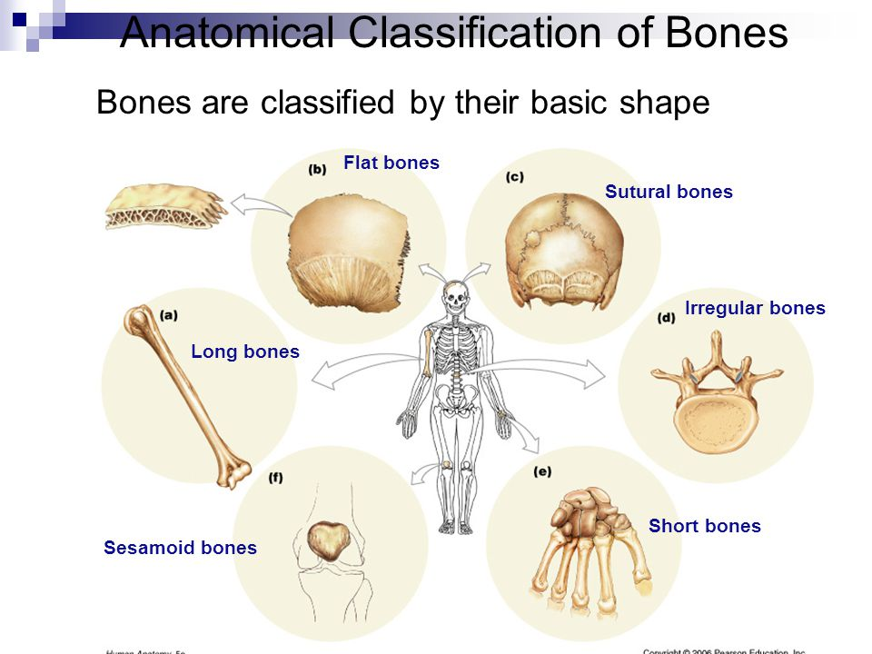 Long bones Short bones Flat bones Irregular bones Sesamoid bones Sutural bones Anatomical Classification of Bones Bones are classified by their basic