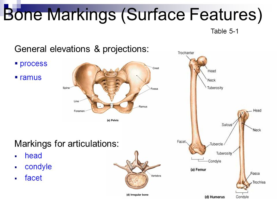 Bone Markings (Surface Features) Markings for articulations:  head  condyle  facet General elevations & projections:  process  ramus Table 5-1