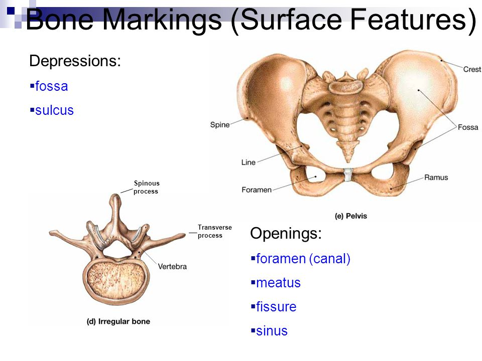 Bone Markings (Surface Features) Spinous process Transverse process Depressions:  fossa  sulcus Openings:  foramen (canal)  meatus  fissure  sin