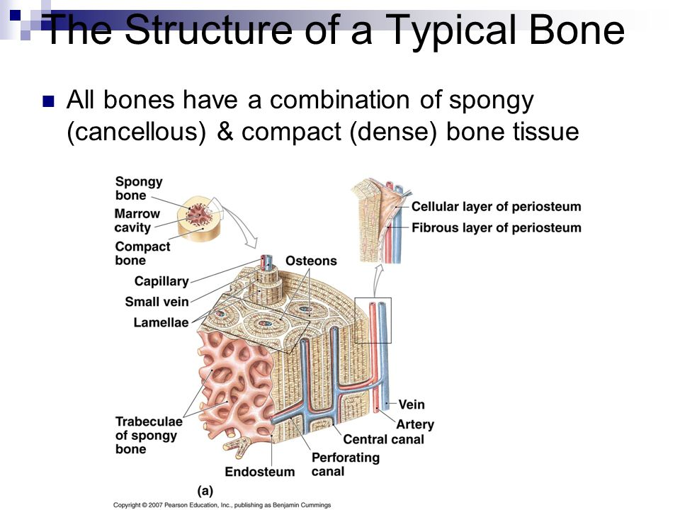 The Histological Features of Spongy Bone  Lamellae (layers) of matrix laid down in trabeculae - branching network of bony tissue  Osteocytes located within lacunae  Canaliculi branch out from lacunae  Many marrow cavities which contain red marrow & small blood vessels