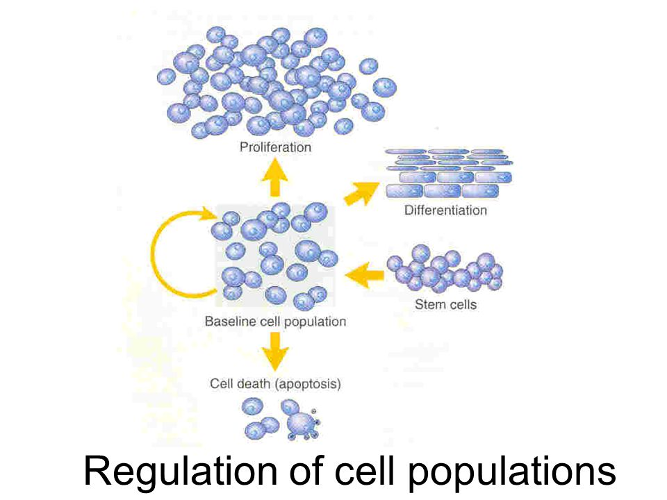 Regulation of cell populations