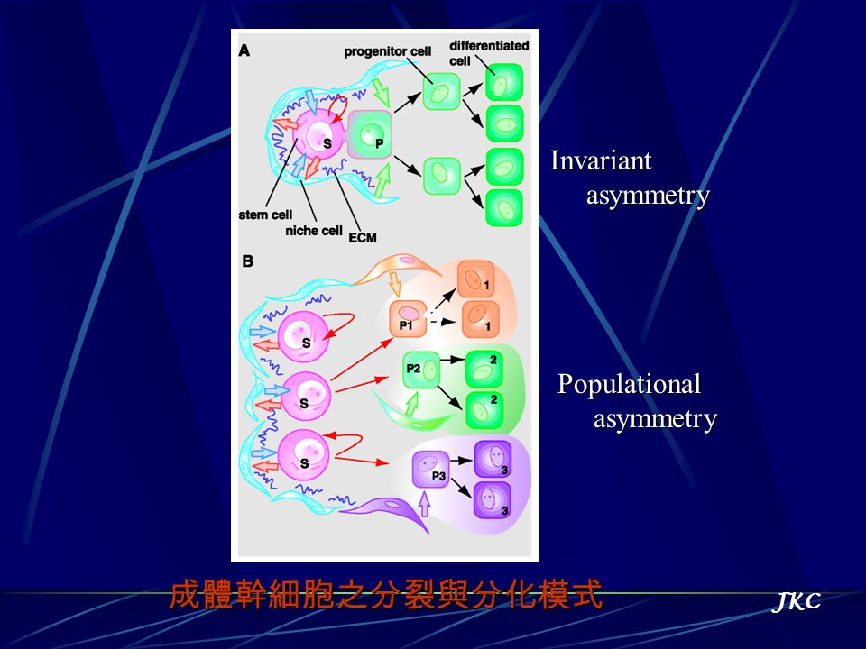 Invariant asymmetry asymmetry Populational 成體幹細胞之分裂與分化模式 JKC ?