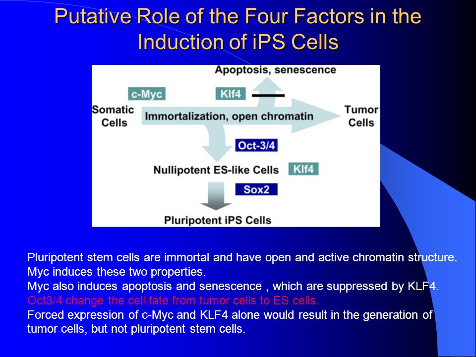 Putative Role of the Four Factors in the Induction of iPS Cells Pluripotent stem cells are immortal and have open and active chromatin structure. Myc