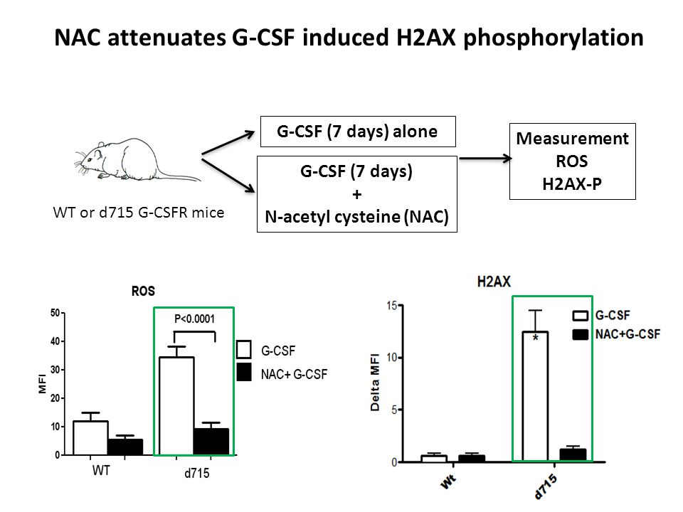 NAC attenuates G-CSF induced H2AX phosphorylation WT or d715 G-CSFR mice G-CSF (7 days) alone G-CSF (7 days) + N-acetyl cysteine (NAC) Measurement ROS H2AX-P
