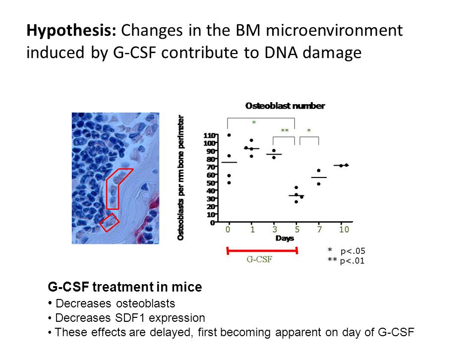 Hypothesis: Changes in the BM microenvironment induced by G-CSF contribute to DNA damage G-CSF treatment in mice Decreases osteoblasts Decreases SDF1