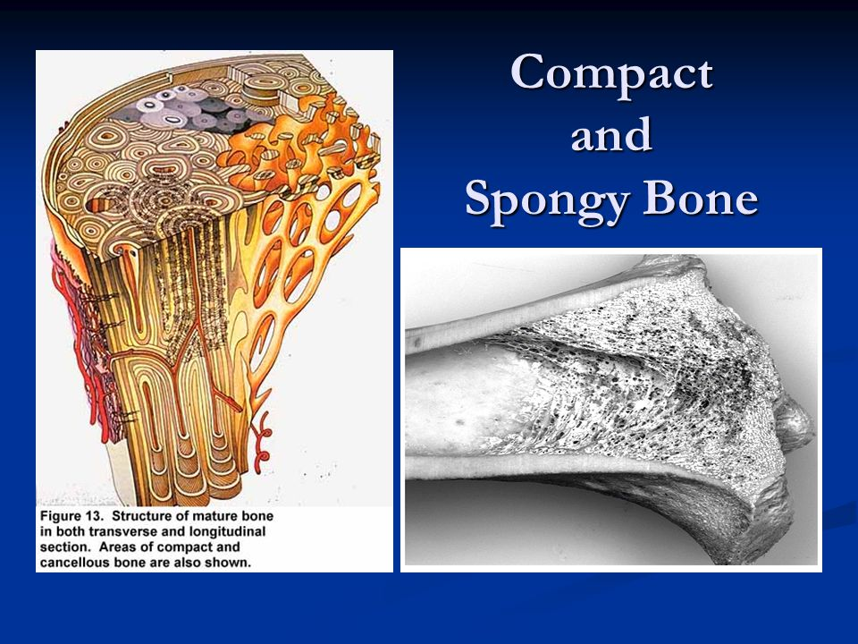 Microscopic Structure of Bone Compact bone contains many cylinder-shaped structural units called osteons, or Haversian systems.