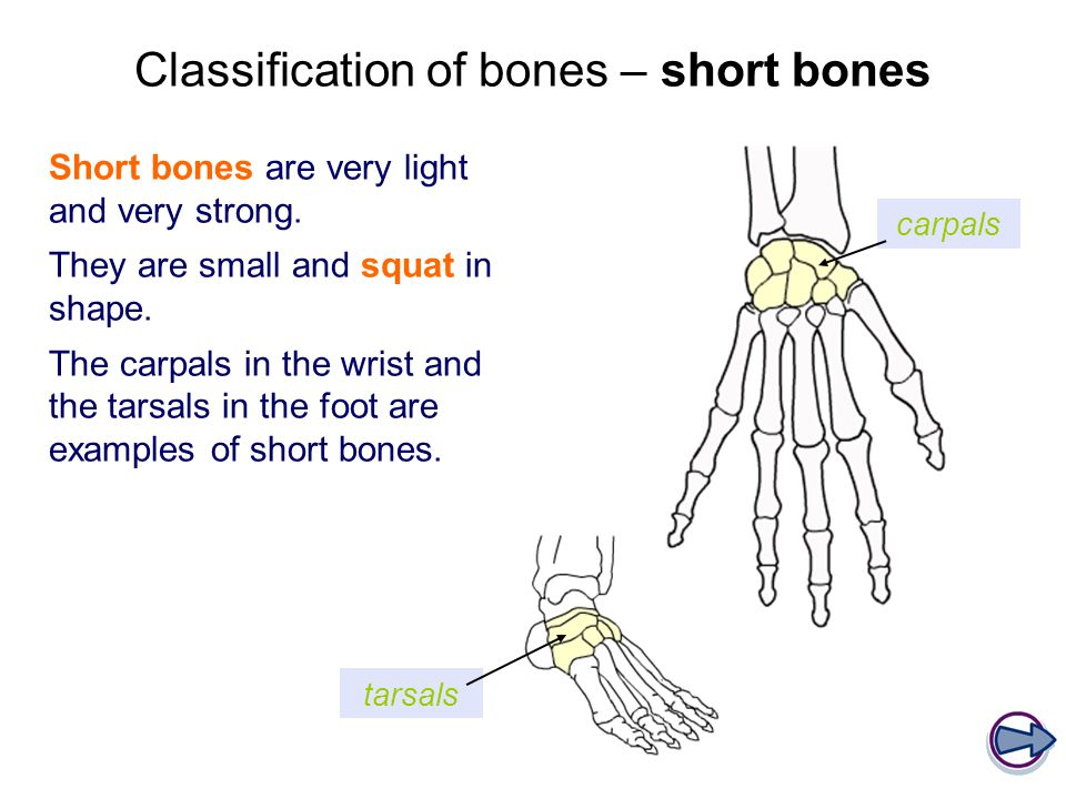 Classification of bones – short bones Short bones are very light and very strong. They are small and squat in shape. The carpals in the wrist and the