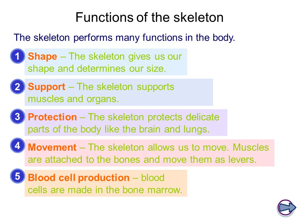 Functions of the skeleton The skeleton performs many functions in the body. Shape – The skeleton gives us our shape and determines our size. Blood cel