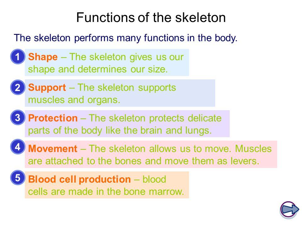 Classification of bones – flat bones Flat bones perform a variety of functions.