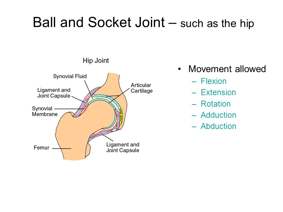 Ball and Socket Joint – such as the hip Movement allowed –Flexion –Extension –Rotation –Adduction –Abduction