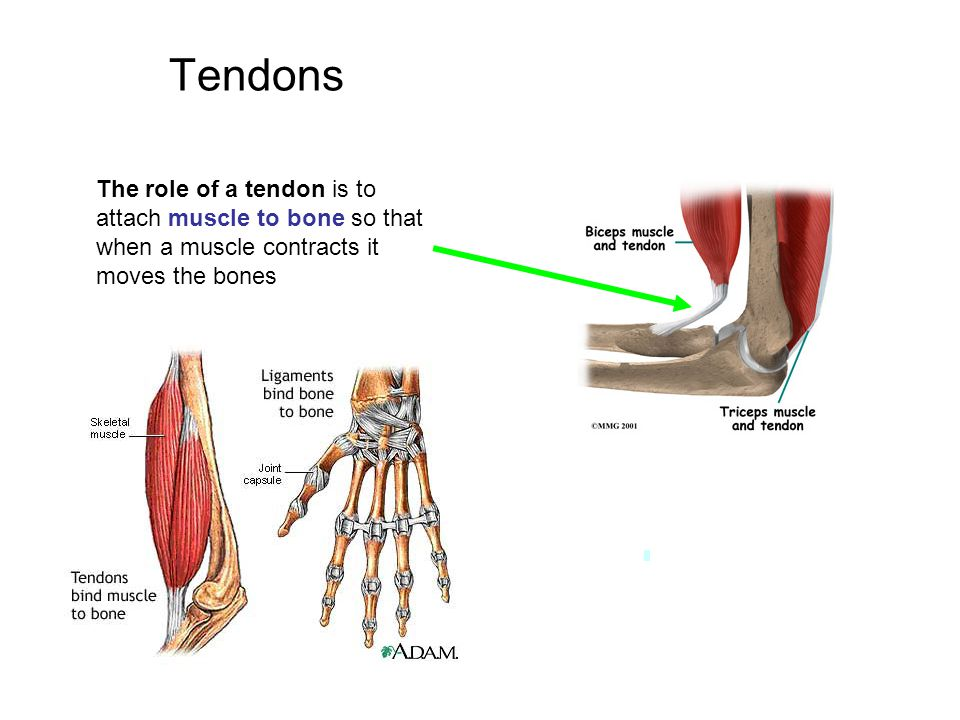 Tendons The role of a tendon is to attach muscle to bone so that when a muscle contracts it moves the bones
