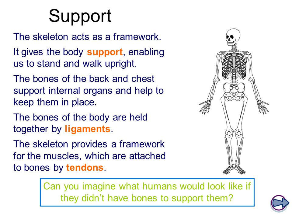 Support The skeleton acts as a framework. It gives the body support, enabling us to stand and walk upright. The bones of the back and chest support in