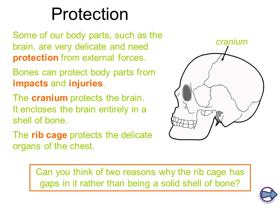 Blood cell production Red and white blood cells and platelets are made in the bones.