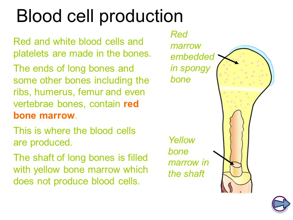 Blood cell production Red and white blood cells and platelets are made in the bones. The ends of long bones and some other bones including the ribs, h