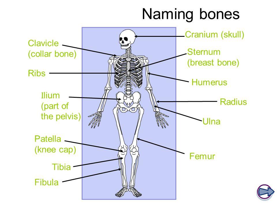 Scapula (shoulder blade) Vertebral column (spine) Carpals Metacarpals Phalanges Tarsals Metatarsals FOOT HAND Naming bones