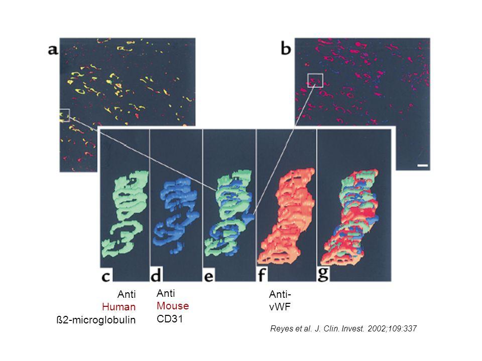 Anti Human ß2-microglobulin Anti Mouse CD31 Anti- vWF Reyes et al. J. Clin. Invest. 2002;109:337