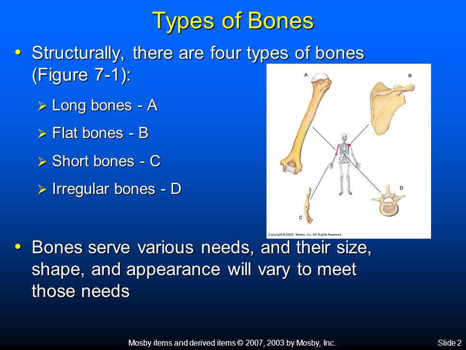 Mosby items and derived items © 2007, 2003 by Mosby, Inc.Slide 2 Types of Bones Structurally, there are four types of bones (Figure 7-1): Structurally