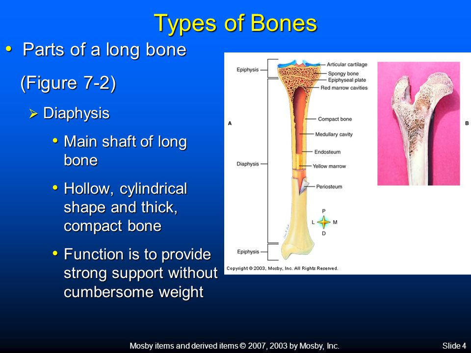 Mosby items and derived items © 2007, 2003 by Mosby, Inc.Slide 4 Types of Bones Parts of a long bone Parts of a long bone (Figure 7-2) (Figure 7-2) 