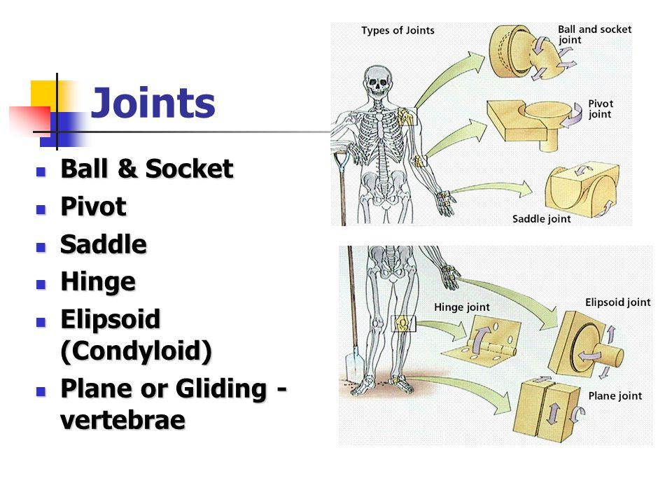 Joints Ball & Socket Ball & Socket Pivot Pivot Saddle Saddle Hinge Hinge Elipsoid (Condyloid) Elipsoid (Condyloid) Plane or Gliding - vertebrae Plane