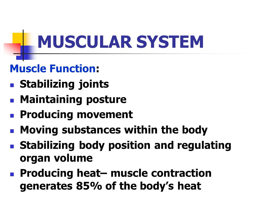 MUSCULAR SYSTEM Muscle Function: Stabilizing joints Maintaining posture Producing movement Moving substances within the body Stabilizing body position and regulating organ volume Producing heat– muscle contraction generates 85% of the body's heat