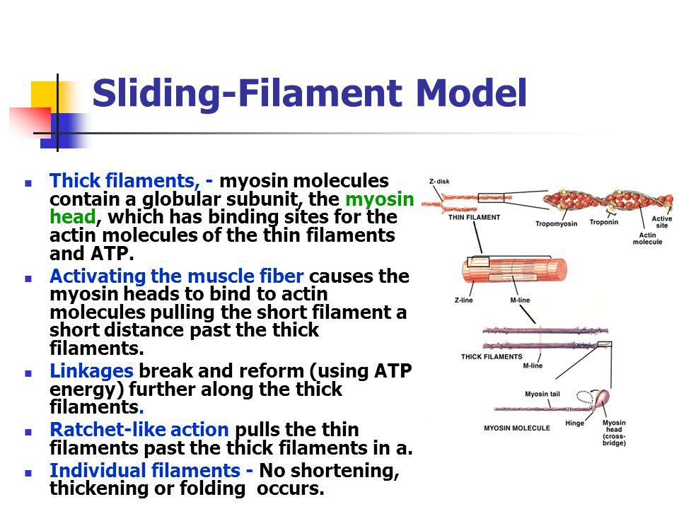 Sliding-Filament Model Thick filaments, - myosin molecules contain a globular subunit, the myosin head, which has binding sites for the actin molecule