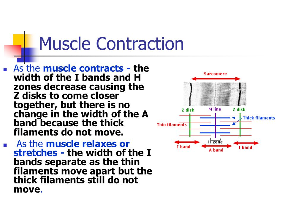 Muscle Contraction As the muscle contracts - the width of the I bands and H zones decrease causing the Z disks to come closer together, but there is no change in the width of the A band because the thick filaments do not move.