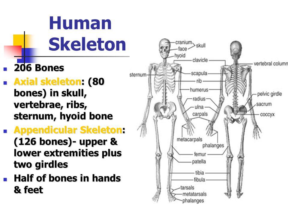 Human Skeleton 206 Bones 206 Bones Axial skeleton: (80 bones) in skull, vertebrae, ribs, sternum, hyoid bone Axial skeleton: (80 bones) in skull, vert