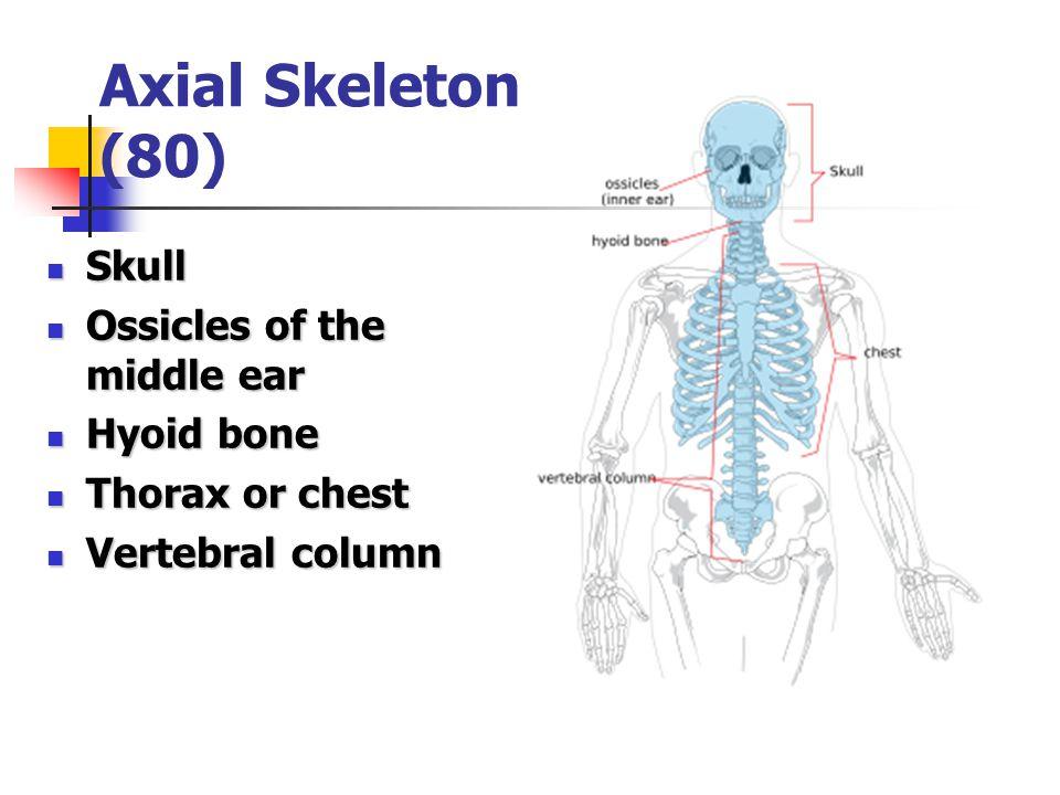 Axial Skeleton (80) Skull Skull Ossicles of the middle ear Ossicles of the middle ear Hyoid bone Hyoid bone Thorax or chest Thorax or chest Vertebral