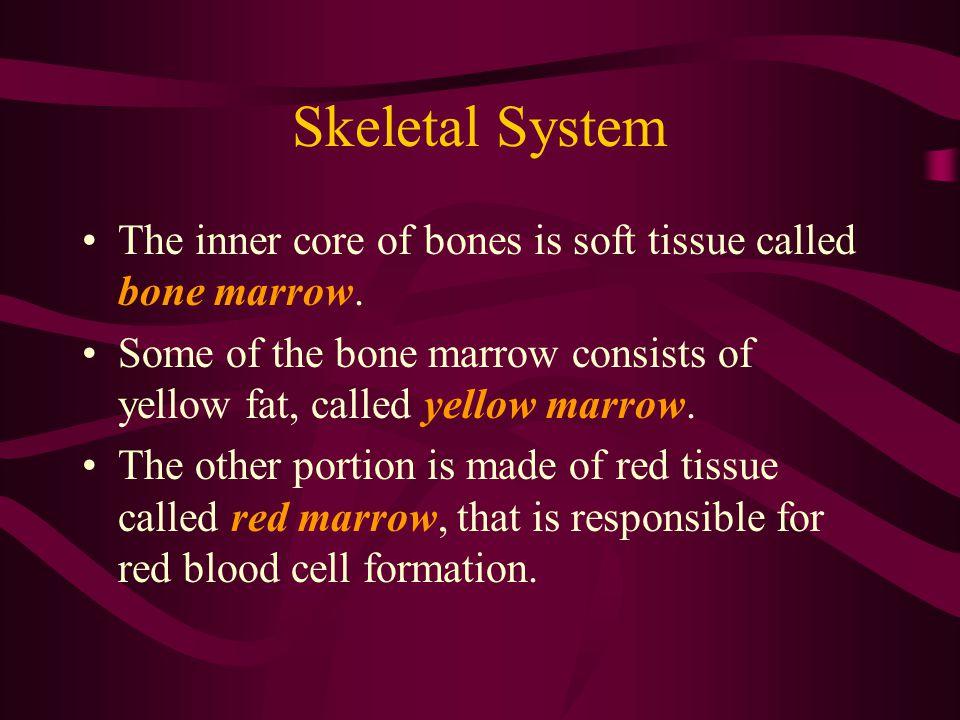 Skeletal System The vertebral column (spine) is divided into five regions: –Cervical (7 vertebrae) –Thoracic (13 vertebrae) –Lumbar (6 vertebrae) –Sacral (5 vertebrae) –Coccygeal (18-20 vertebrae)