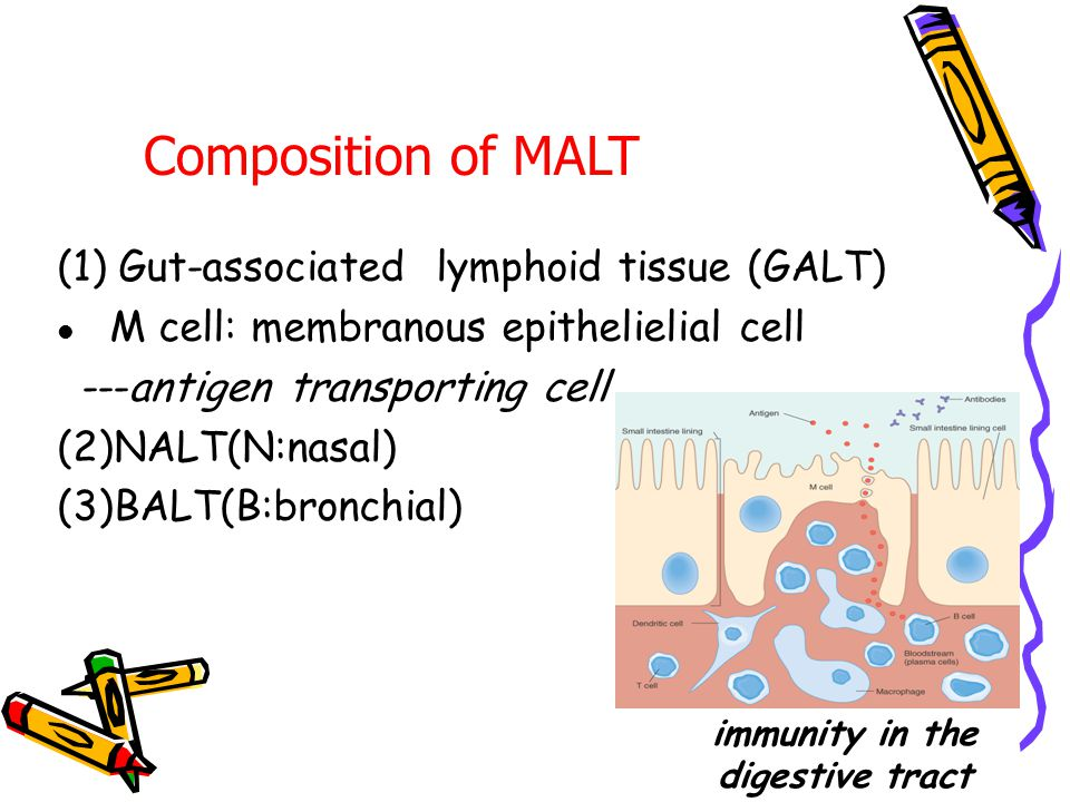 IV. MALT The mucosal surfaces of the gastrointestinal and respiratory tracts,like the skin,are colonized by lymphocytes and APCs that initiate immune