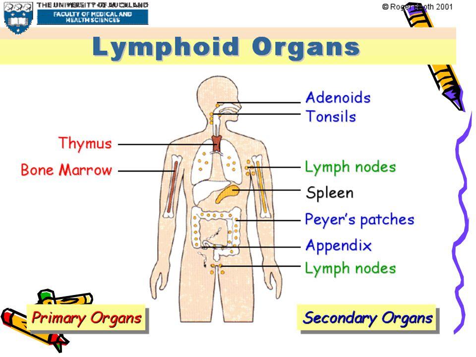 Lymphocytes recirculation and homing