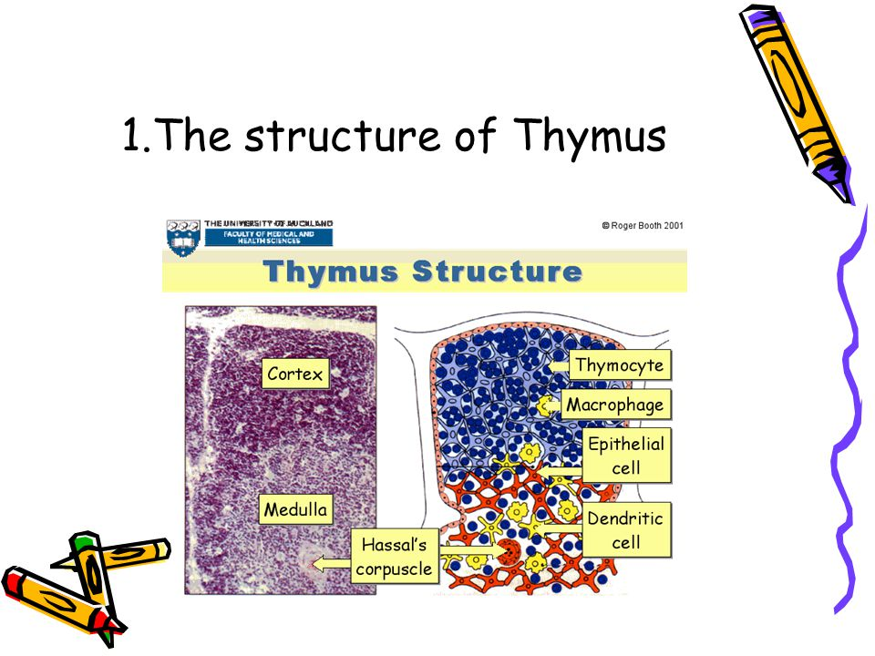 1.The structure of Thymus