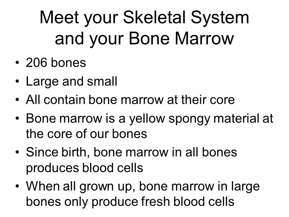 Meet your Skeletal System and your Bone Marrow 206 bones Large and small All contain bone marrow at their core Bone marrow is a yellow spongy material at the core of our bones Since birth, bone marrow in all bones produces blood cells When all grown up, bone marrow in large bones only produce fresh blood cells