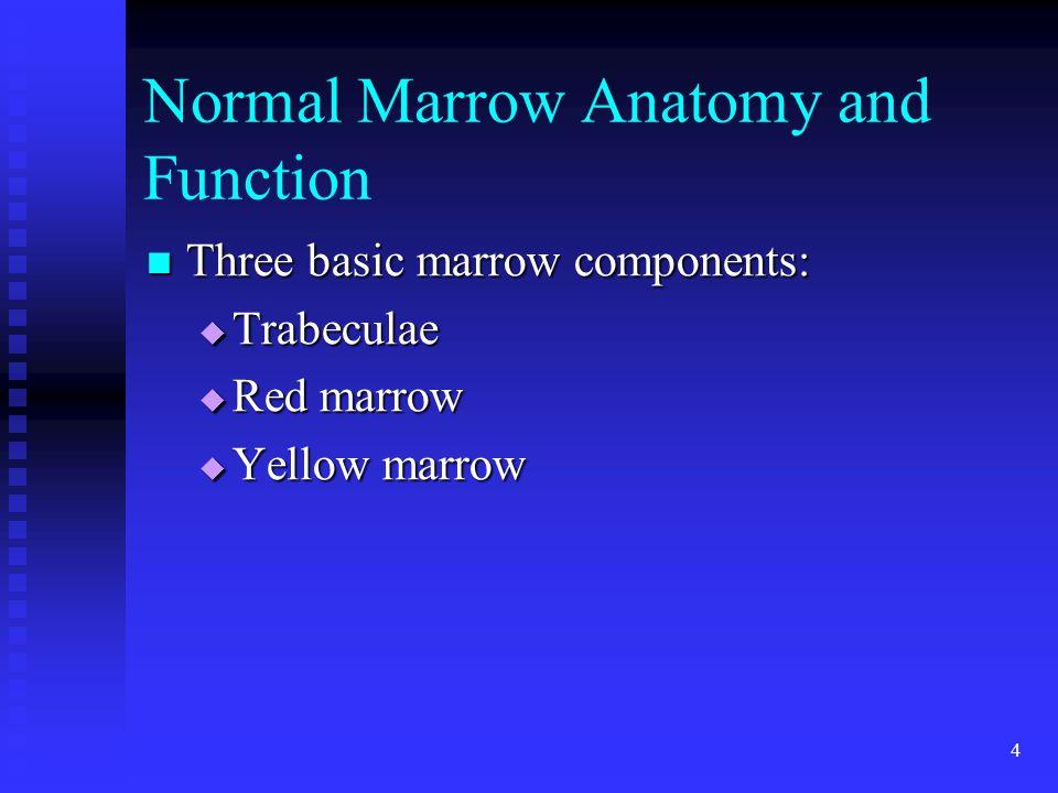 4 Normal Marrow Anatomy and Function Three basic marrow components: Three basic marrow components:  Trabeculae  Red marrow  Yellow marrow