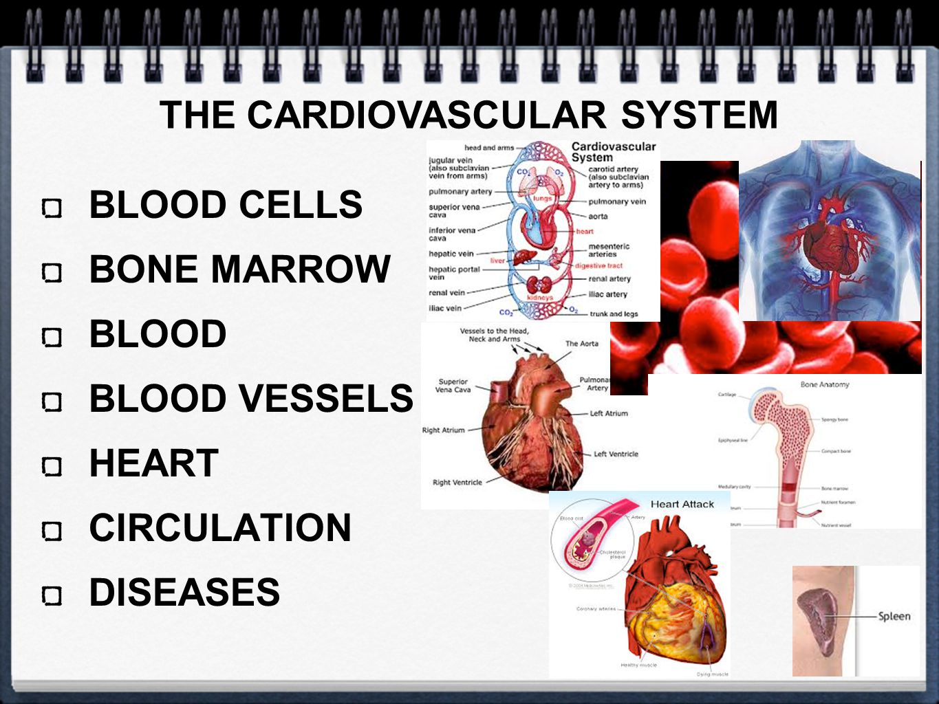 BLOOD CELLS BONE MARROW BLOOD BLOOD VESSELS HEART CIRCULATION DISEASES THE CARDIOVASCULAR SYSTEM