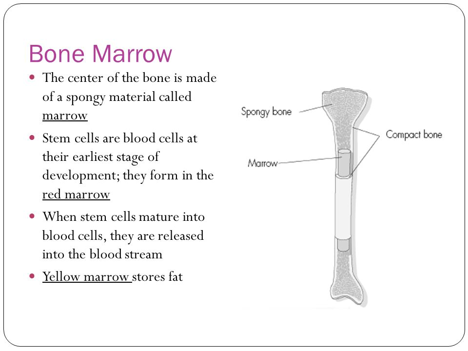 Bone Marrow The center of the bone is made of a spongy material called marrow Stem cells are blood cells at their earliest stage of development; they form in the red marrow When stem cells mature into blood cells, they are released into the blood stream Yellow marrow stores fat
