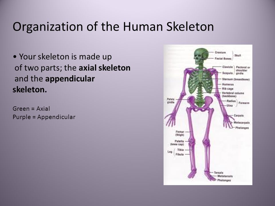 Organization of the Human Skeleton Your skeleton is made up of two parts; the axial skeleton and the appendicular skeleton. Green = Axial Purple = App