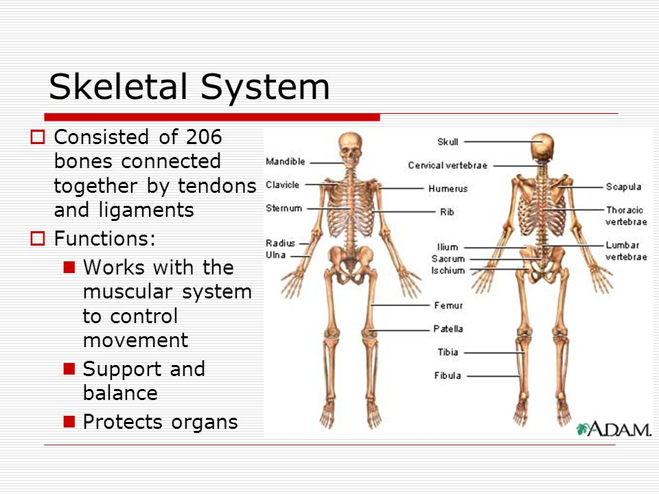Skeletal System  Consisted of 206 bones connected together by tendons and ligaments  Functions: Works with the muscular system to control movement S