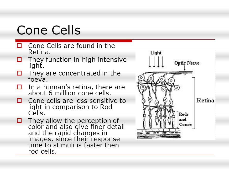 Cone Cells  Cone Cells are found in the Retina.  They function in high intensive light.  They are concentrated in the foeva.  In a human's retina,
