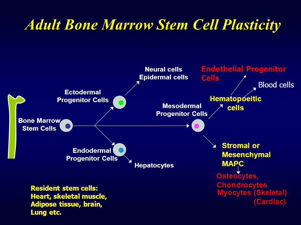 Adult Bone Marrow Stem Cell Plasticity Endodermal Progenitor Cells Bone Marrow Stem Cells Ectodermal Progenitor Cells Mesodermal Progenitor Cells Neur