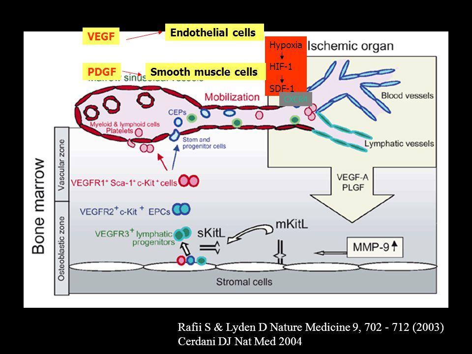 Rafii S & Lyden D Nature Medicine 9, 702 - 712 (2003) Cerdani DJ Nat Med 2004 Hypoxia HIF-1 SDF-1 CXCR4 Endothelial cells Smooth muscle cells VEGF PDG