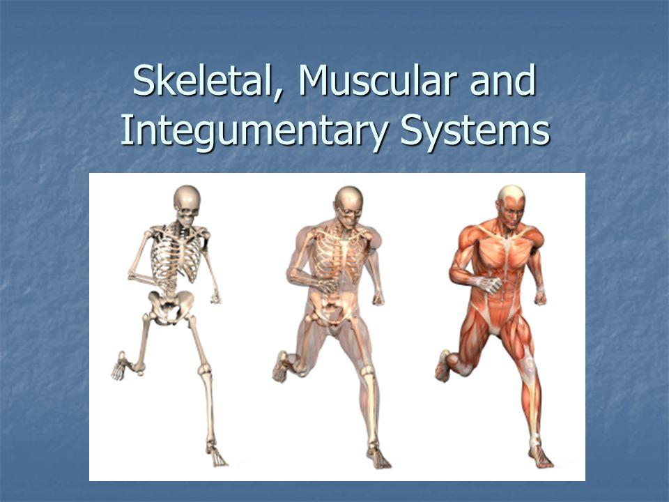Skeleton Parts Ligaments – elastic tissue that hold the bones together Ligaments – elastic tissue that hold the bones together