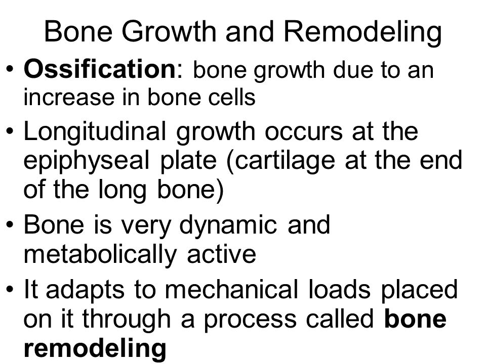 Bone Growth and Remodeling Ossification: bone growth due to an increase in bone cells Longitudinal growth occurs at the epiphyseal plate (cartilage at the end of the long bone) Bone is very dynamic and metabolically active It adapts to mechanical loads placed on it through a process called bone remodeling