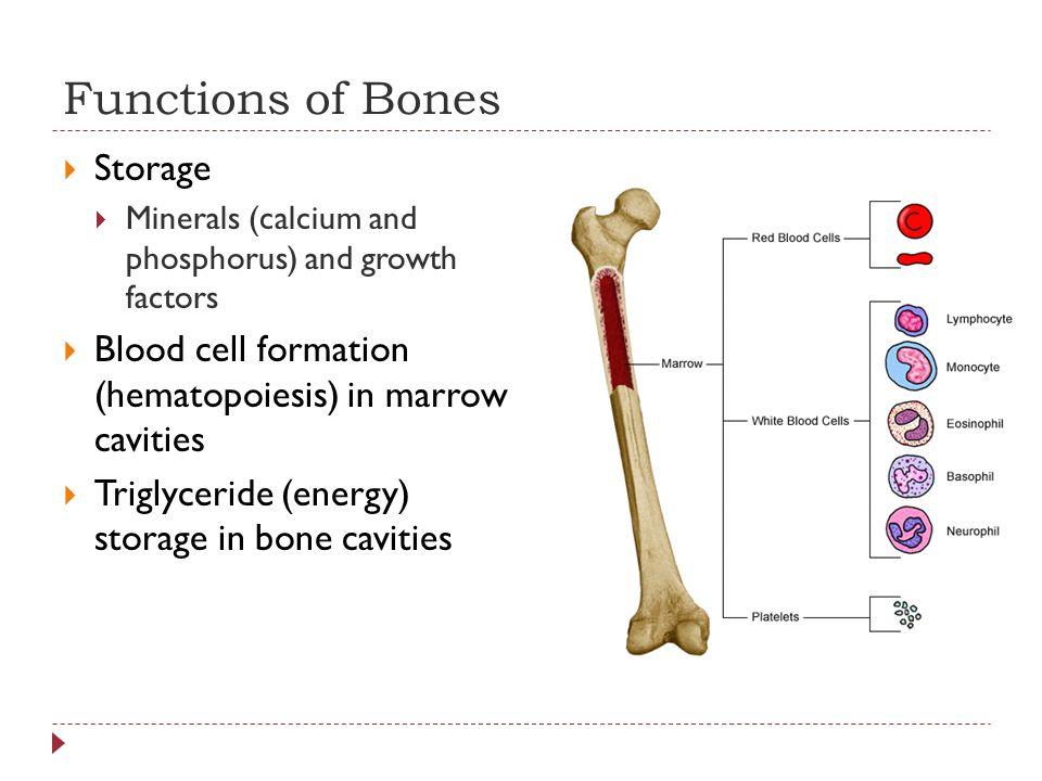 Functions of Bones  Storage  Minerals (calcium and phosphorus) and growth factors  Blood cell formation (hematopoiesis) in marrow cavities  Triglyceride (energy) storage in bone cavities