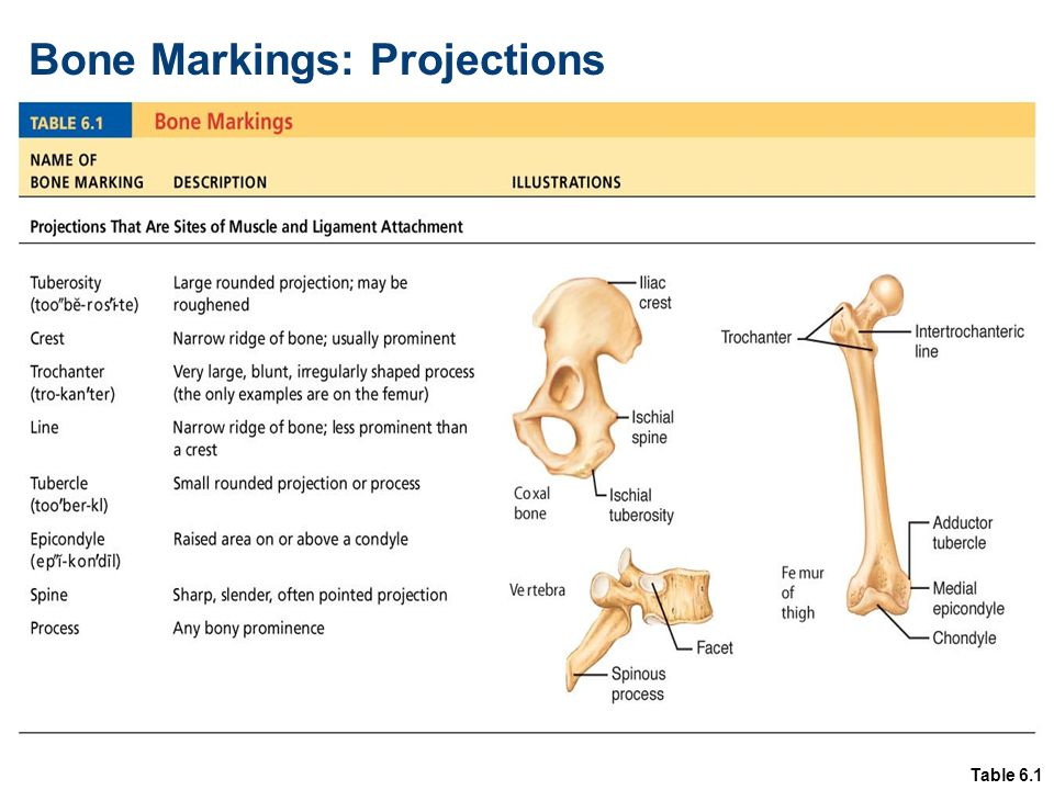 Table 6.1 Bone Markings: Projections